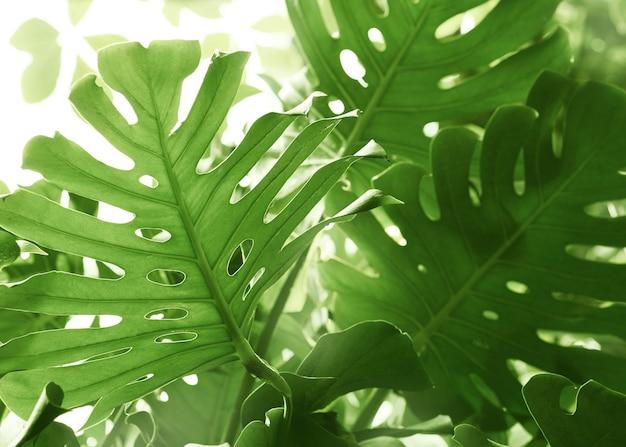 Monstera는 햇빛, 팜 리프와 열대 녹색 배경을 나뭇잎