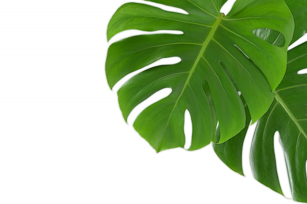 Monstera leaves on white background isolated