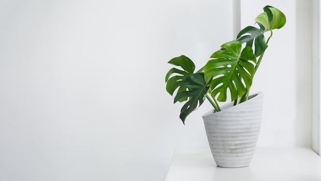 Монстера на горшке у окна, концепция тенденции комнатных растений