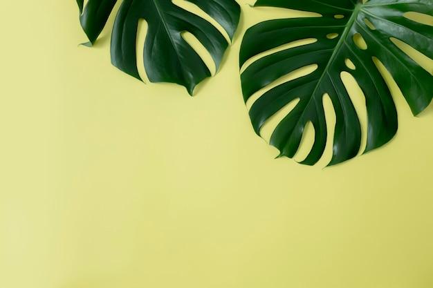 Монстера пальмовые зеленые листья на светло-зеленом фоне
