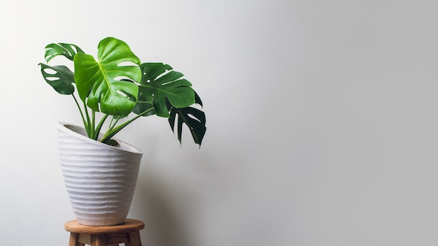 Monstera plant in cement pot over light wall with copy space