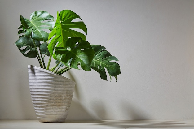 Monstera plant in cement pot over light wall