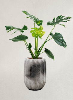 Monstera plant in a gray pot