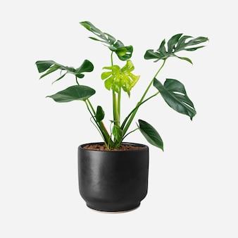 黒い鍋のモンステラ植物