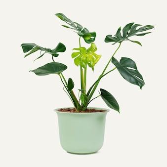 緑の鍋にモンステラ植物