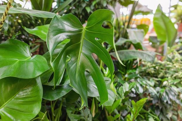 Растение монстера в горшке в магазине цветов и домашнего дизайна