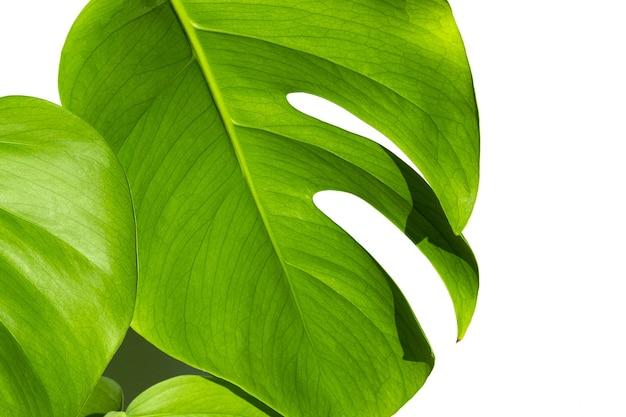흰색 절연 표면에 흰색 냄비에 monstera 공장 monstera deliciosa 잎 또는 냄비 열대 잎 표면에 스위스 치즈 공장 일광 가혹한 그림자 닫기