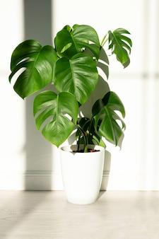 흰색 절연 표면에 흰색 냄비에 monstera 공장 미니멀리즘의 개념 monstera deliciosa 잎 또는 냄비 열대 잎 표면에 스위스 치즈 공장 일광 가혹한 그림자