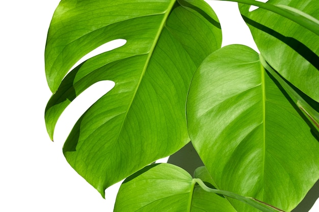 흰색 격리 된 표면에 흰색 냄비에 monstera 식물 미니멀리즘 monstera deliciosa 잎 또는 냄비 열대 잎 표면에 스위스 치즈 식물의 개념