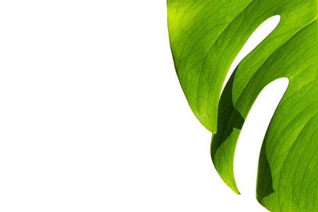 흰색 냄비에 monstera 공장 미니멀리즘의 개념 monstera deliciosa 잎 또는 냄비 열대 잎 표면에 스위스 치즈 공장 일광 가혹한 그림자 닫기