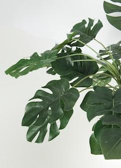 Растение монстера в горшке с множеством листьев