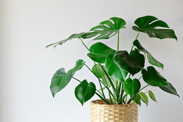 Комнатное растение монстера на белом фоне стены