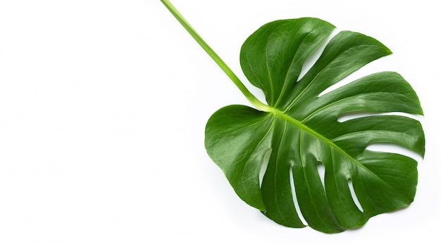 Monstera plant leaf on white