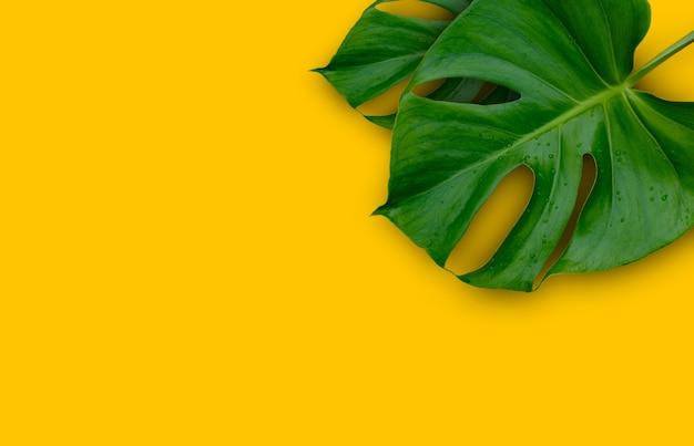 Monstera 식물 잎에 고립 된 노란색 배경