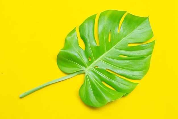 Monstera plant leaves. top view