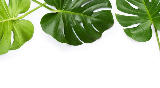 Monstera plant leaves on white background