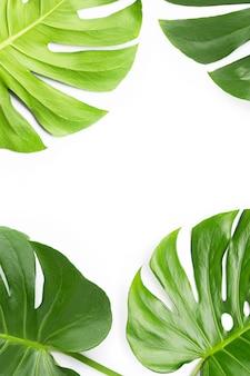 Monstera plant leaves on white background
