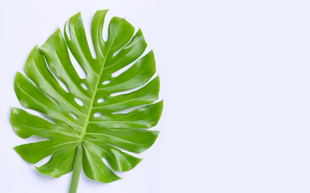 Monstera plant leaves on white surface
