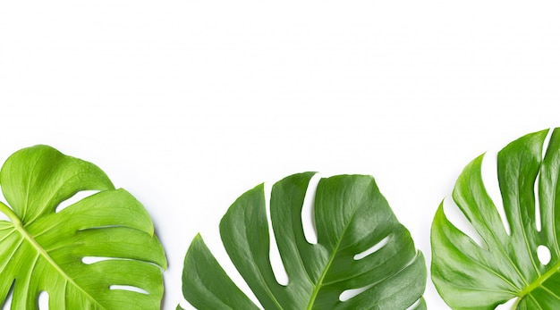 Monstera plant leaves on white