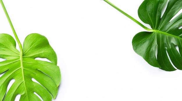 Monstera plant leaves on white