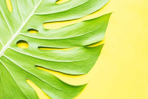 Monstera plant leaves on yellow