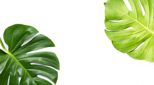 Monstera plant leaves