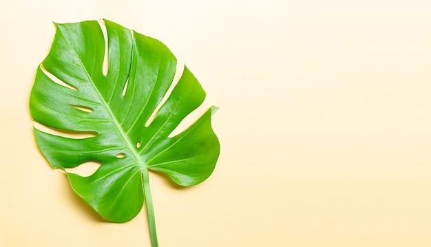 モンステラ植物の葉。