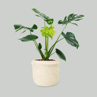 Pianta monstera in vaso bianco