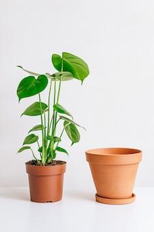 Растение монстера с глиняным горшком на белом столе, домашнее садоводство, сезонная пересадка растений.