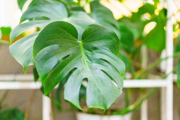 熱帯植物の雑多な美しい葉を持つモンステラタイの星座は美しく珍しい...