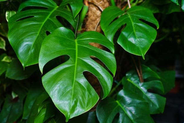 아름답고 특이한 열대 식물의 가지각색의 아름다운 단풍이 있는 몬스테라 타이 별자리 ...