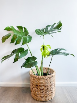 Monstera tree in a pot stands on a wooden floor