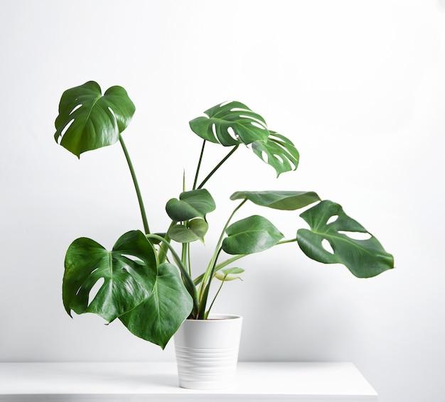 灰色の背景に白い鍋にモンステラ熱帯植物。スカンジナビアスタイル。正面図とコピースペース