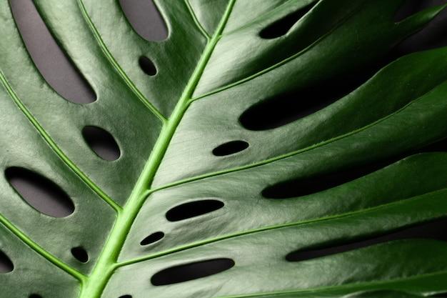 검은 배경에 몬스 테라 열 대 식물 잎