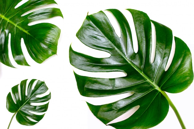 Monstera on a white background