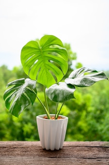 Monstera in white pot on wooden table