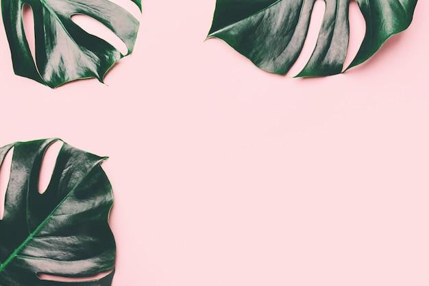 Monstera зеленые листья на розовом