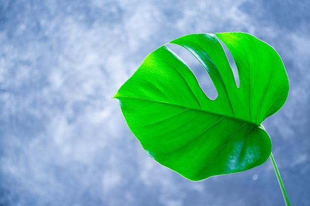 Тропические листья monstera на сером фоне. плоская планировка