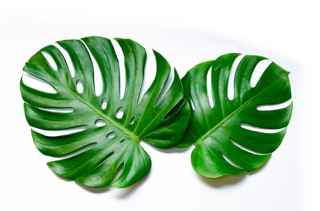 Monsteraは白い背景に孤立した葉を残す白の葉