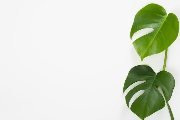Тропические листья monstera на белом фоне.