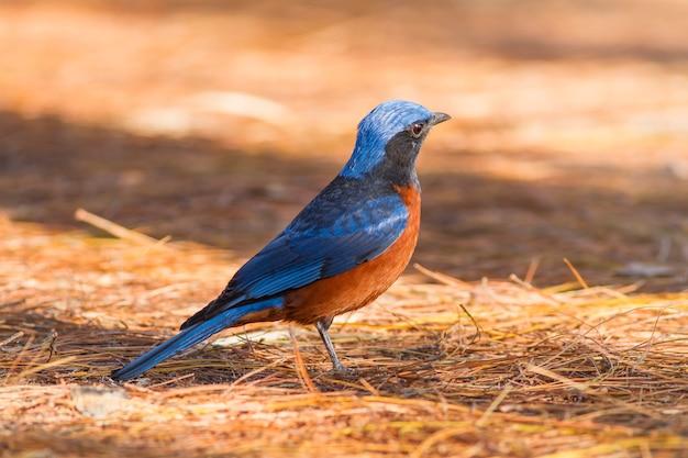 自然の中の鳥、栗に覆われたロックスラッシュ(monticola rufiventris)