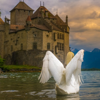 Montreux , switzerland - may 22 , 2018 : swan live around chillion castle  geneva lake , montreux sw