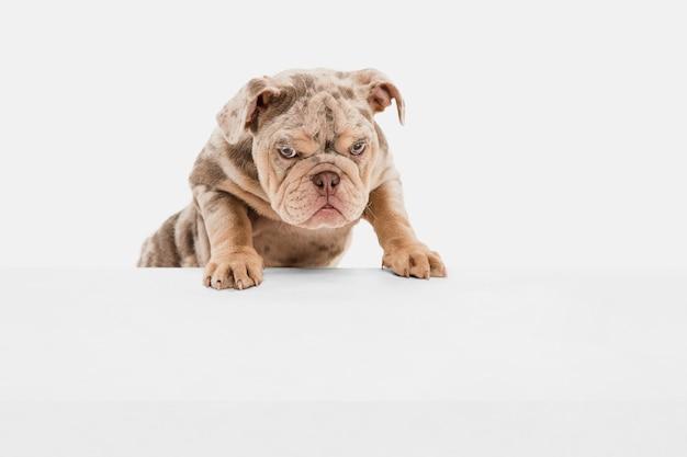 Настроение. французский бульдог мерль играет изолированную на белой стене. молодая собачка, питомец выглядит игриво, весело, искренне доброжелательно. концепция движения, действия, любви питомца, динамики. copyspace.