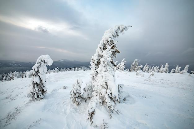가문비 나무 나무의 무디 겨울 풍경은 차가운 얼어 붙은 산에 깊은 하얀 눈으로 움츠러 들었습니다.