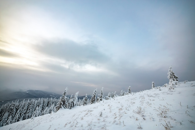 Унылый зимний пейзаж елового леса, прикрытого глубоким белым снегом, в холодных замороженных высокогорьях.