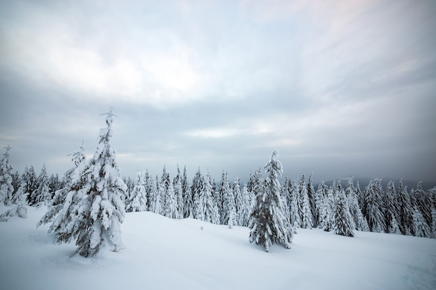Moody winter landscape of spruce woods cowered with deep white snow in cold frozen highlands.