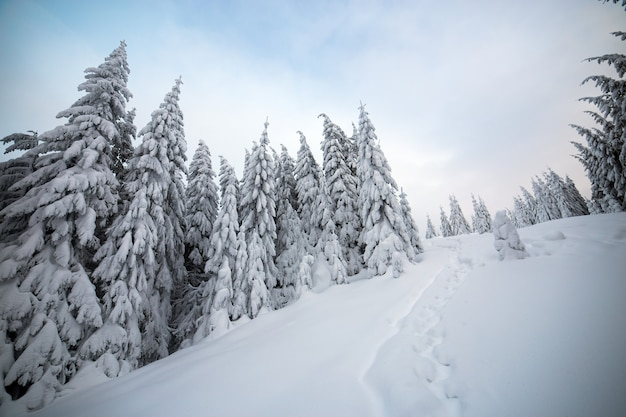 Moody winter landscape of spruce woods cowered with deep white snow in cold frozen mountains.