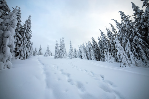 Moody winter landscape with spruce forest cowered with white snow in frozen mountains.