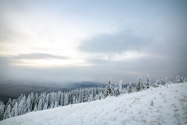 Moody winter landscape with tall spruce forest cowered with white snow in frozen mountains.