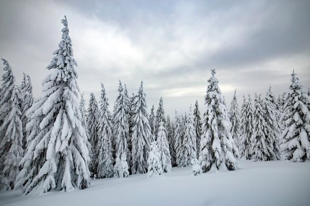 얼어 붙은 산에 하얀 눈이 움츠린 키 큰 가문비 나무 숲과 무디 겨울 풍경.